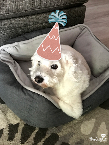 terrier mix dog celebrating gotcha day
