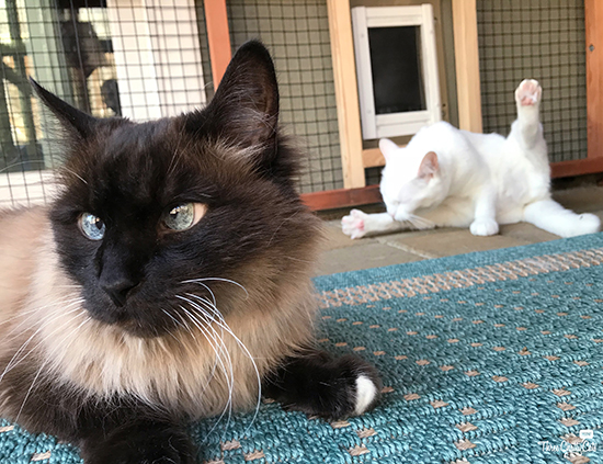 Siamese mix cat in catio