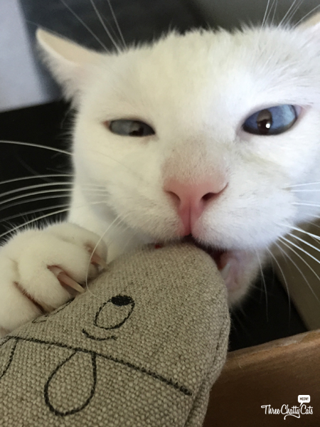 white cat with toy