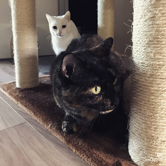 white cat and tortie cat