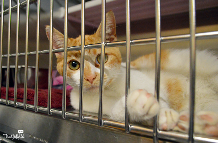 orange and white shelter cat waiting for adoption