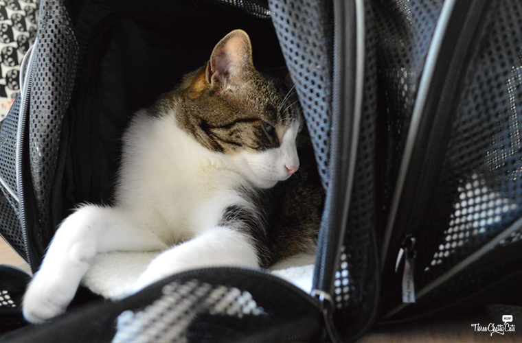gray and white tabby cat in carrier