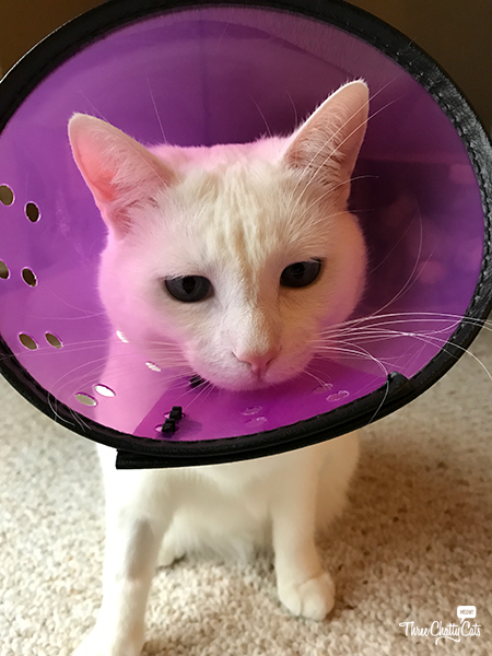white cat in cone of shame