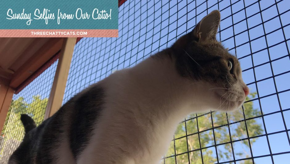gray and white tabby cat in catio