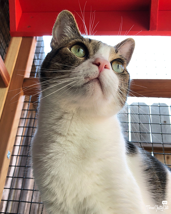 handsome tabby cat in catio