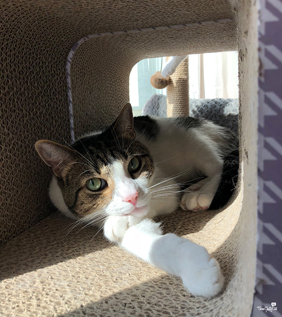 handsome gray and white tabby cat