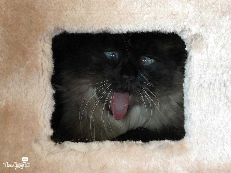 goofy Siamese cat