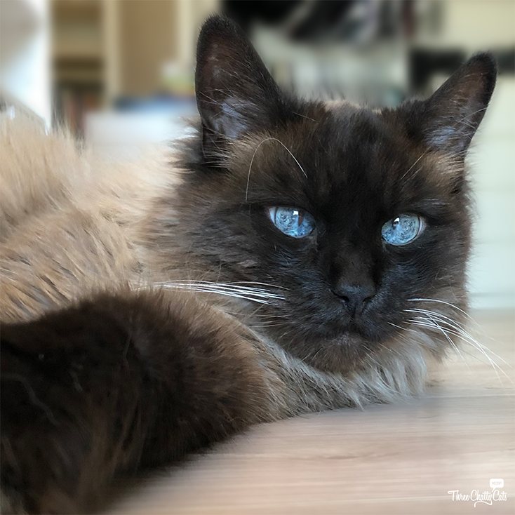 gorgeous Siamese mix cat with blue eyes