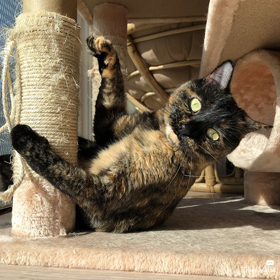 silly tortie cat playing
