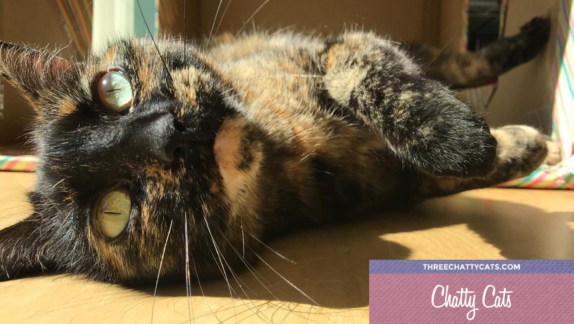 adorable tortie cat