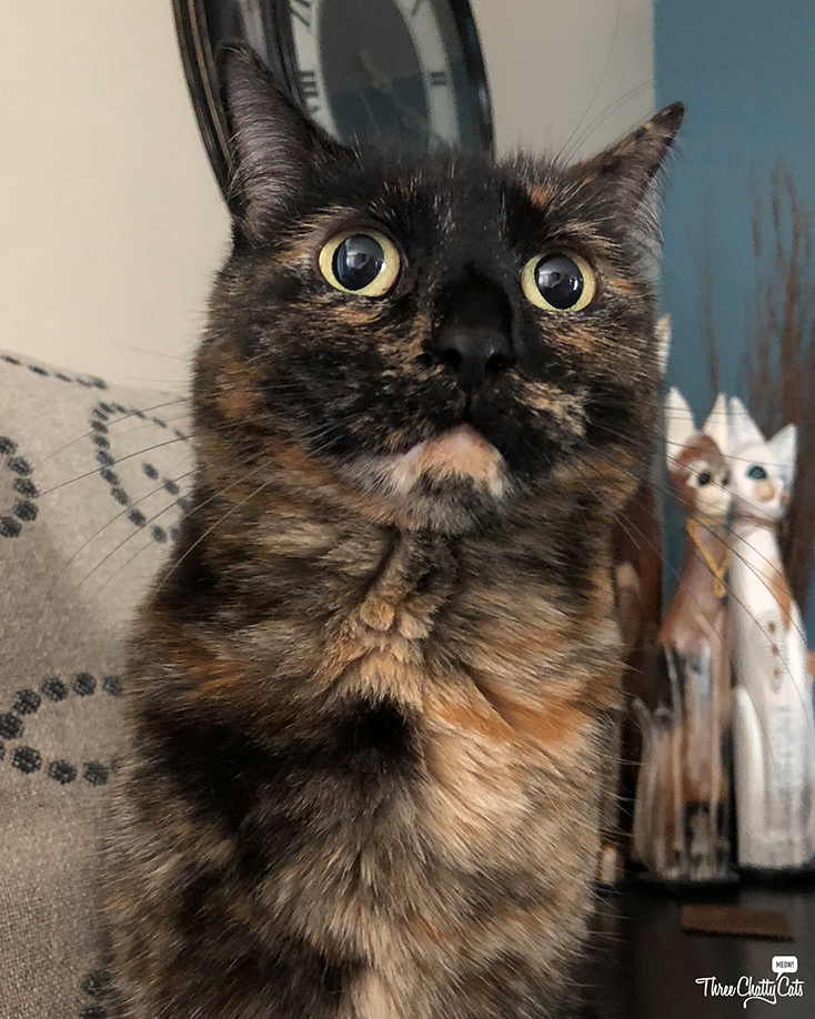 surprised tortie cat