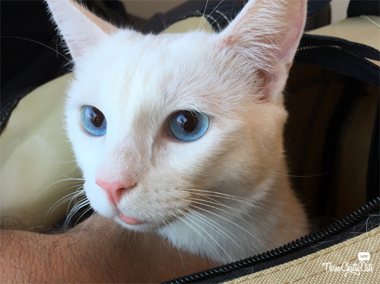 white cat at vet for swollen lip