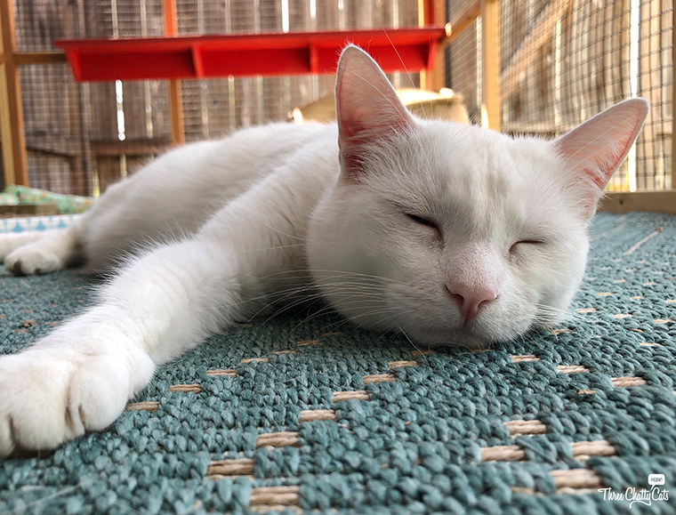 adorable sleeping white cat