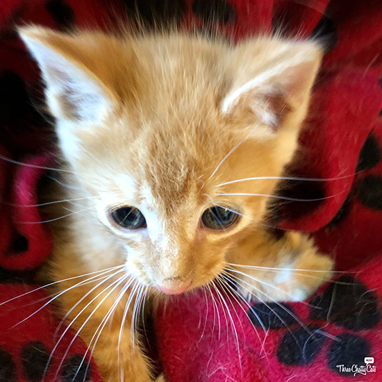 cute orange tabby foster kitten