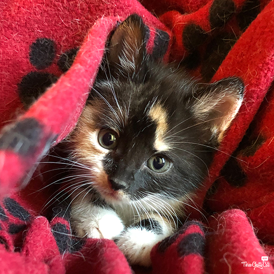 cute calico foster kitten