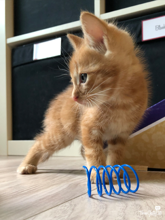 adorable ginger foster kitten