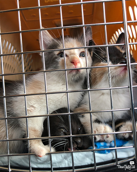 cute foster kittens in carrier