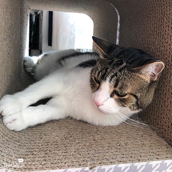 pensive tabby cat