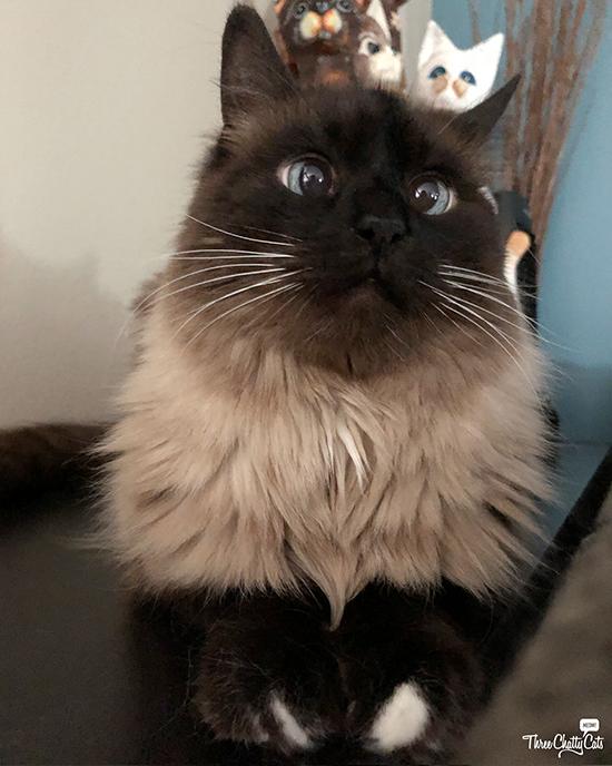 adorable Siamese cat