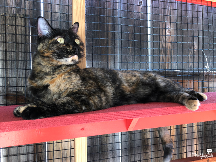 beautiful tortie in catio