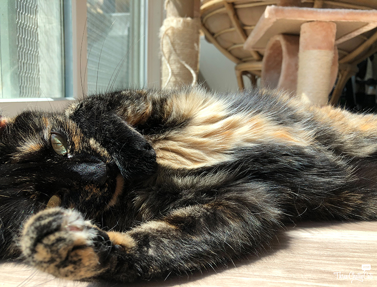 beautiful tortie cat shows off tummy