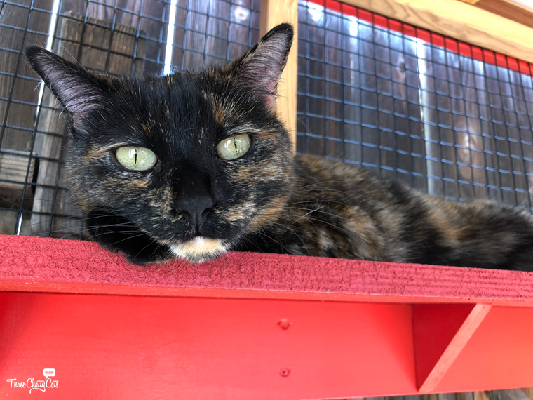 gorgeous tortie cat in catio