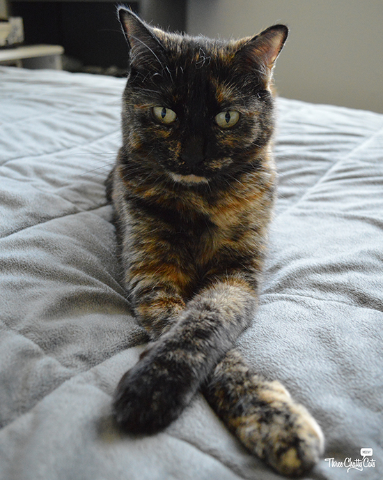 stern tortie cat wants to chat