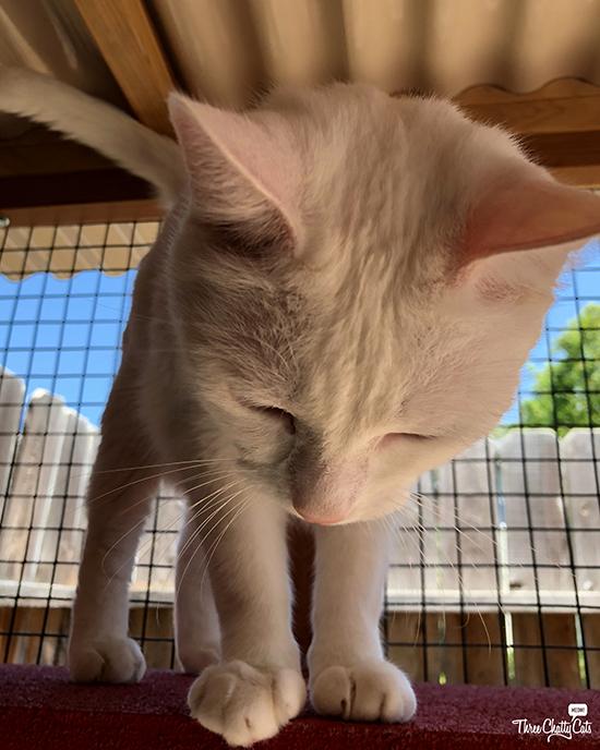 white cat gives head bonk
