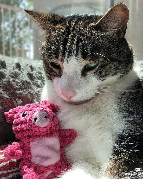goofy tabby cat with stuffed piggy