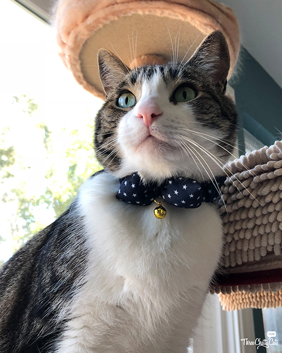 adorable tabby cat in bow tie