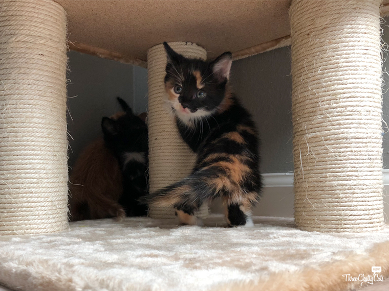 adorable calico foster kitten playing