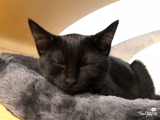 black kitten at cat cafe