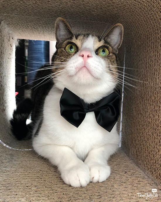 handsome tabby cat in bow tie