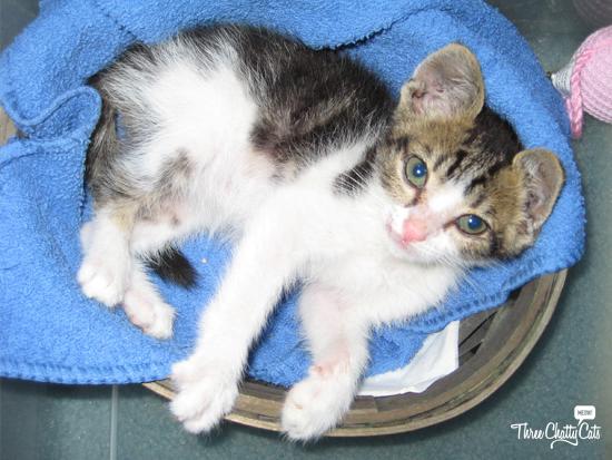 tiny tabby kitten in basket
