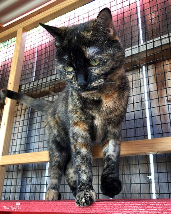 concerned looking tortie cat in catio