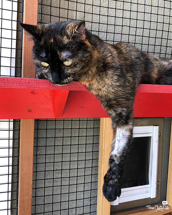 tortie cat hanging out in catio