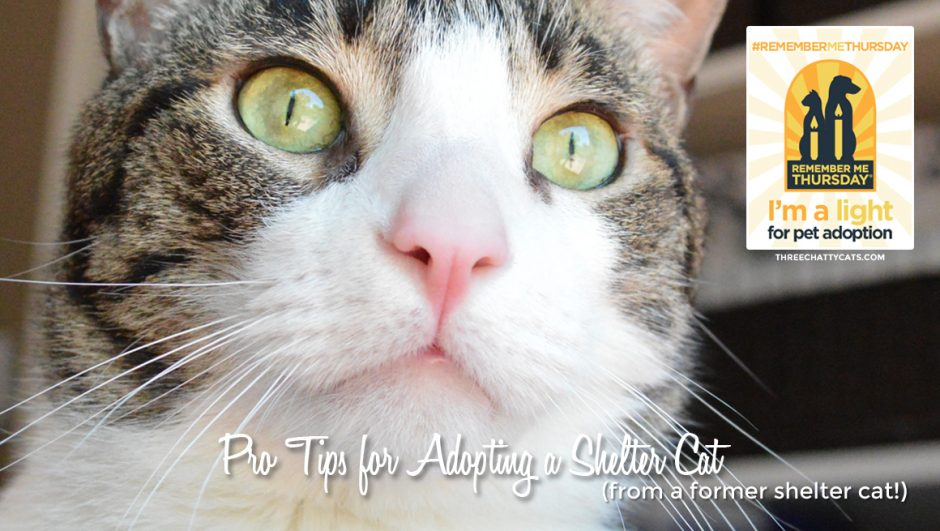 Pro Tips for Adopting a Shelter Cat (from a former shelter cat!) #RememberMeThursday