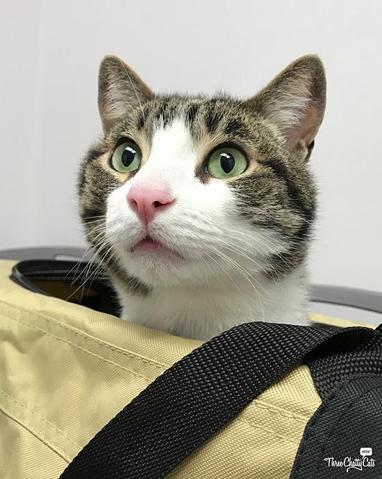 tabby cat in carrier at vet