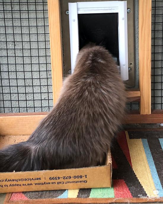 Siamese cat sitting in box in catio