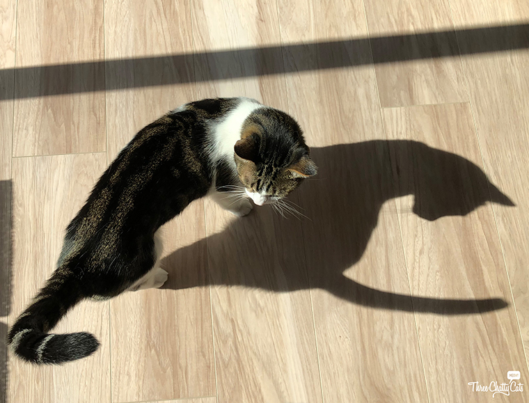 tabby cat and his shadow