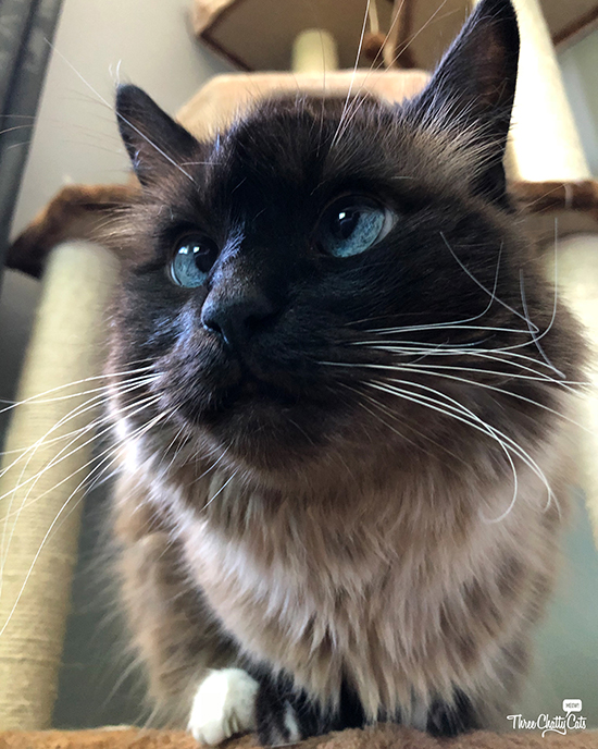 handsome Siamese cat