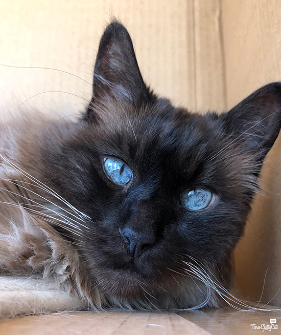 handsome Siamese cat in box