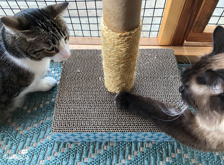 tabby cat and Siamese cat in catio