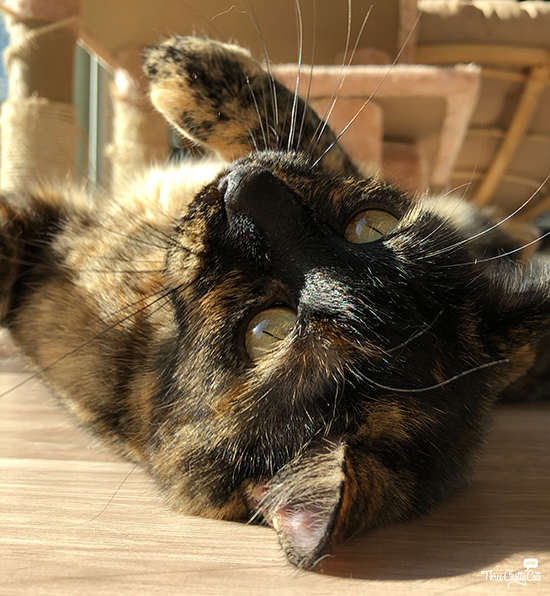 beautiful tortie rolling over