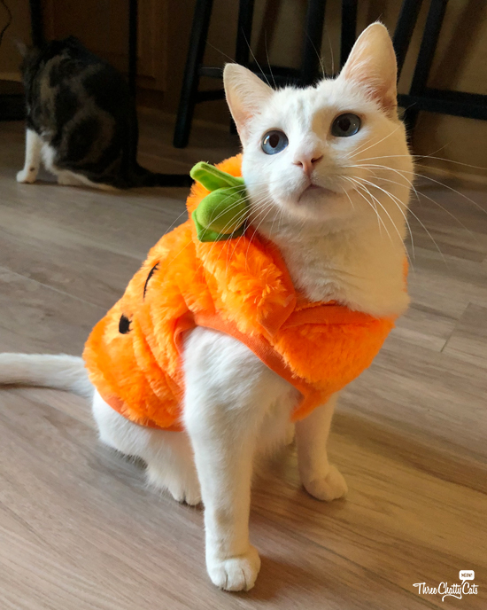 white cat in Halloween costume