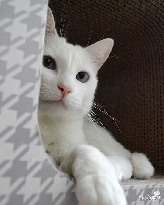 beautiful white cat in scratcher