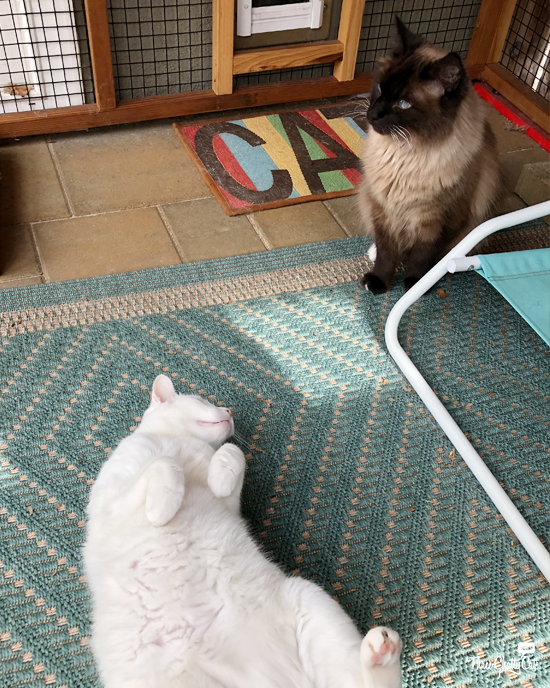 white cat wants to play with Siamese cat in catio
