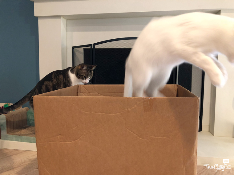 white cat leaps from cardboard box