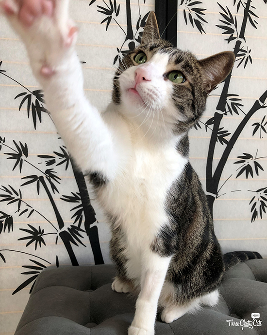 tabby cat gives high five