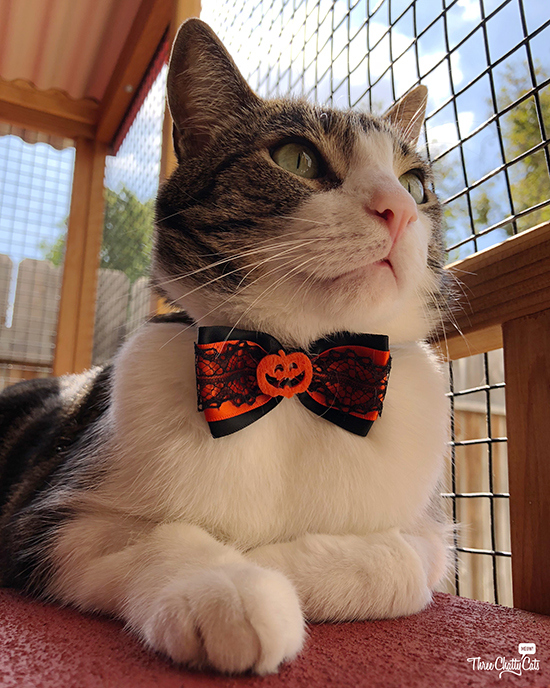 handsome tabby cat in bow tie in catio